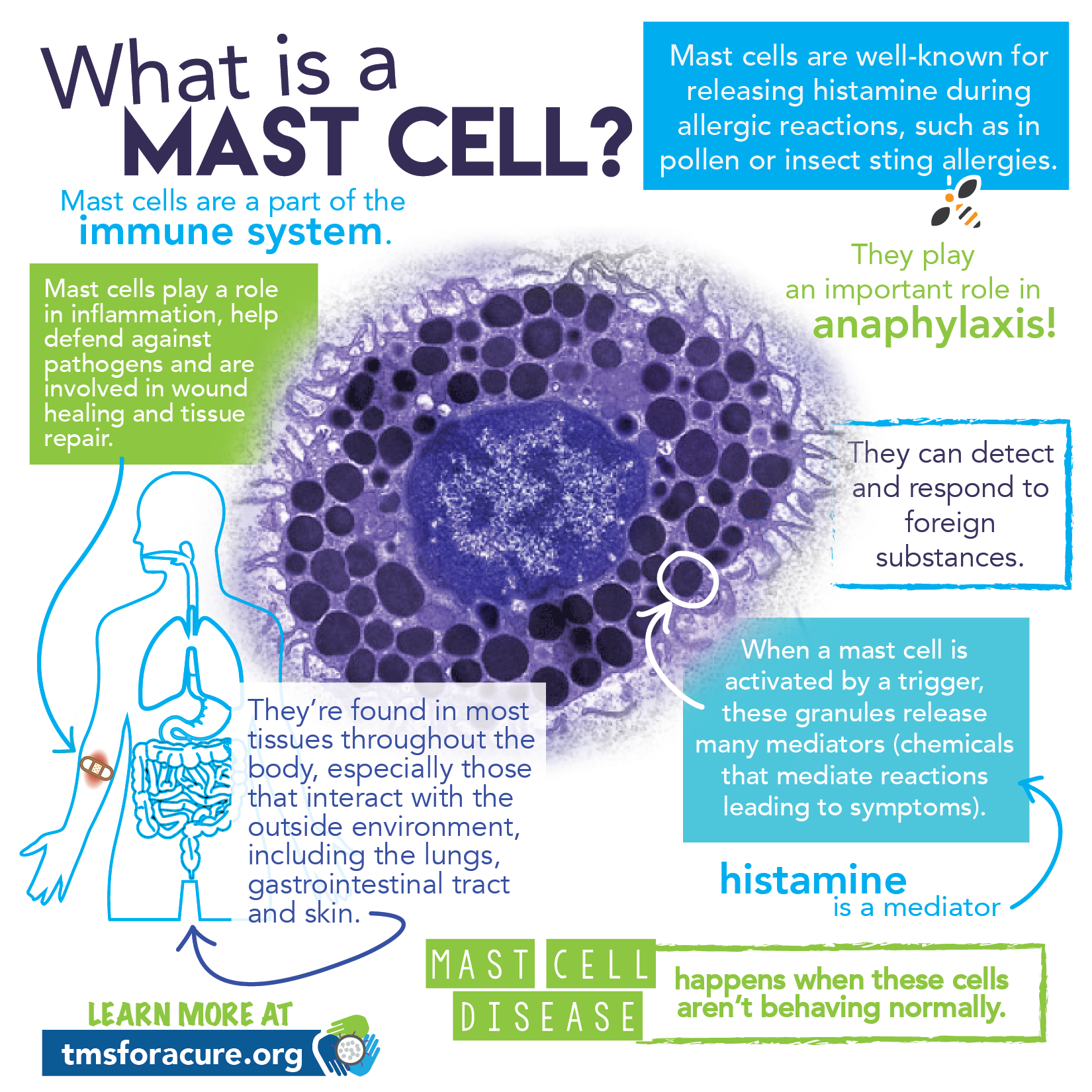 what u0026 39 s a mast cell infographic - tms